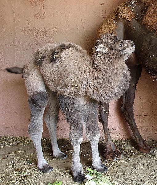 A stunning 2-day-old camel stands next to its mother at the Attica Zoological Park in Athens, Greece.