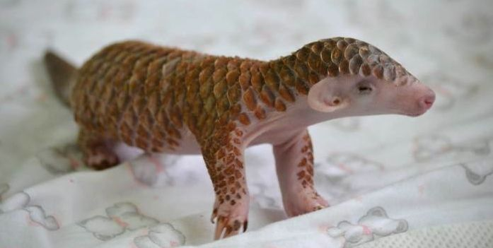 Behold the incredible cuteness of this newborn pangolin (aka scaly anteater) at the Taipei Zoo. Video below.   More details at Laughing Squid.