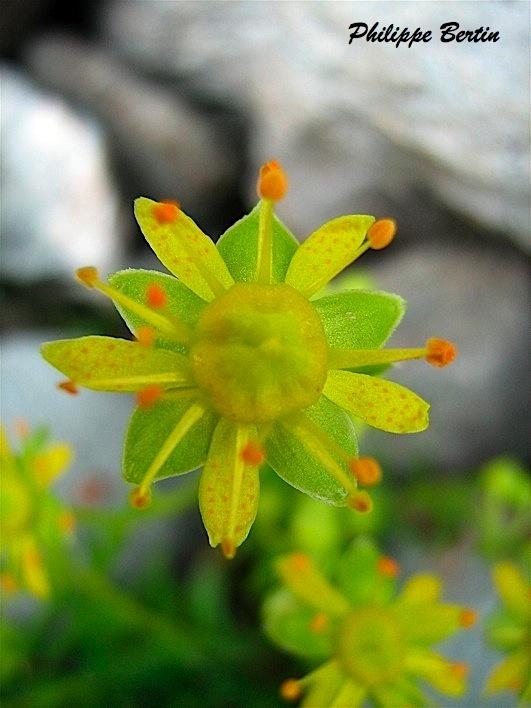 Fleurs jaunes - Randonnée, Raquette & Alpinisme en Vanoise