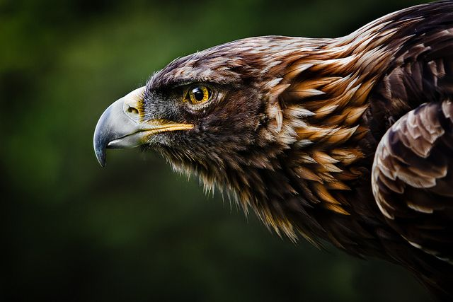 Golden Eagle by William T Hornaday on Flickr.