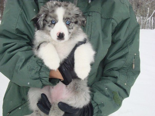 Blue Merle Australian Shepherd Puppy...look at those eyes! SO blue....seriously considering kidnapping someones puppy.