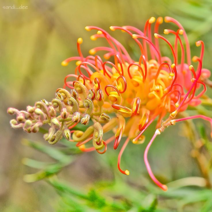 Grevillea from Bar Point,  Central Coast NSW.  Jan 15