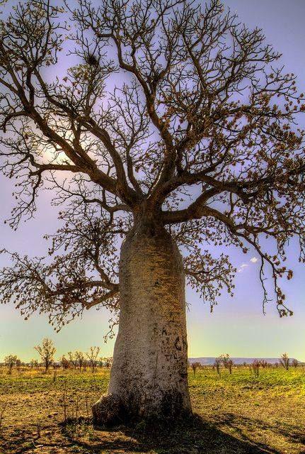Boab Tree - Kimberley, Western Australia