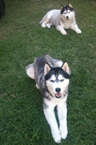 MYⓒⓞⓛⓛⓔⓒⓣⓘⓥⓔ MY HUSKY DOG'S HUSKIES MAUI GIRL (above) KUTA BOY (below)  AUSTRALIAN / ALASKAN HUSKIES
