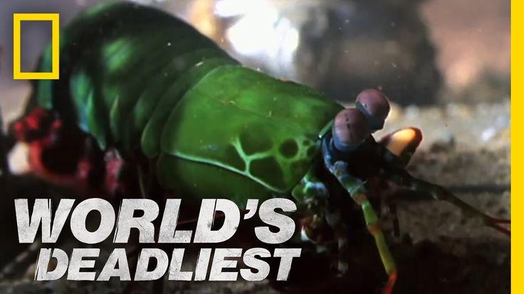 Lagosta-boxeadora ou camarão-mantis são nomes para o crustáceo Odontodactylus scyllarus. São capazes de desferir um dos mais rápidos e violentos golpes do reino animal. Seu soco foi registrado com uma velocidade de 80 km/h e aceleração similar a uma arma calibre .22. A força do impacto do soco é de 60 kg/cm². Essa força esmagadora é capaz de quebrar a carapaça de um caranguejo, as conchas duras e calcificadas de gastrópodes ou até quebrar o vidro reforçado de um aquário.   - YouTube.