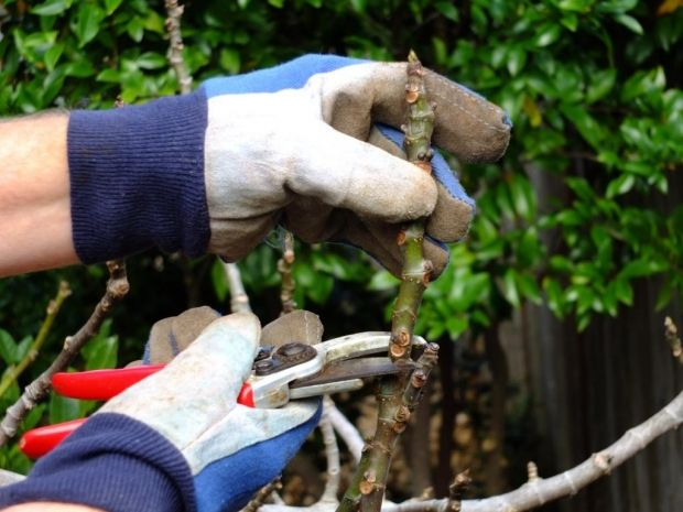 How to prune edible figs   Organic Gardener Magazine Australia