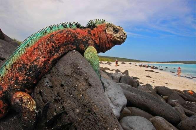 IIguana marinha na Ilha Espanhola, em Galápagos. Este destino a mil km da costa do Equador foi considerado um dos dez melhores endereços do mundo para observação de vida selvagem (foto: Blinking Idiot/Flickr-Creative Commons)