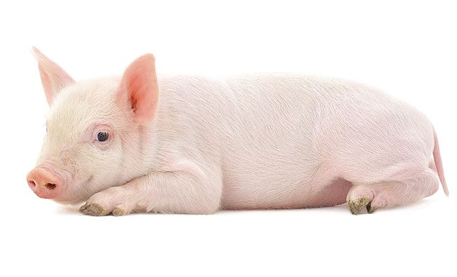 Pig 26 was engineered to have a gene making it immune to African swine fever. (Thinkstock)