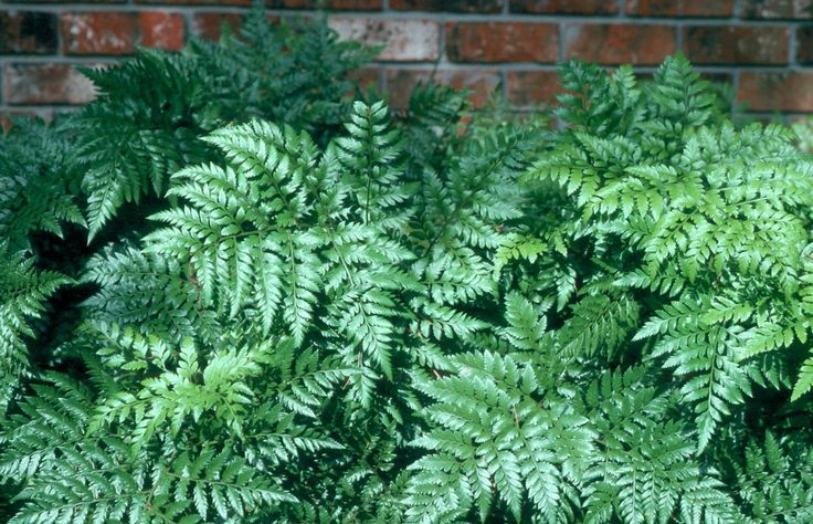 Leatherleaf Fern / Rumohra adiantiformis - Shade, perennial