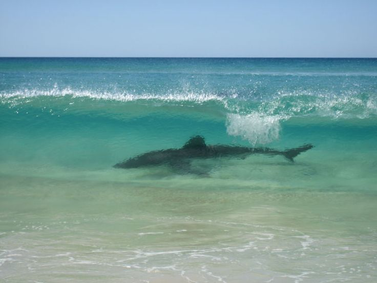 shark in fraser island Australia. Surfing is not really safe there!