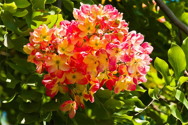 rainbow shower tree hawaii | ... the summer months. This tree is the official street tree of Honolulu