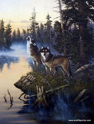 In Derk Hansen's print Nature's Medley-Wolves we see a wolf pair howling. Contrary to popular folklore, they are not howling at the moon nor does their howling habits change with the phases of the moo