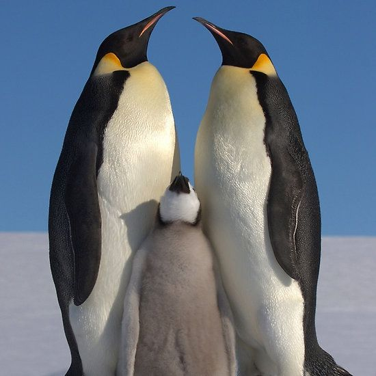 Emperor Penguins and Chick - Snow Hill Island