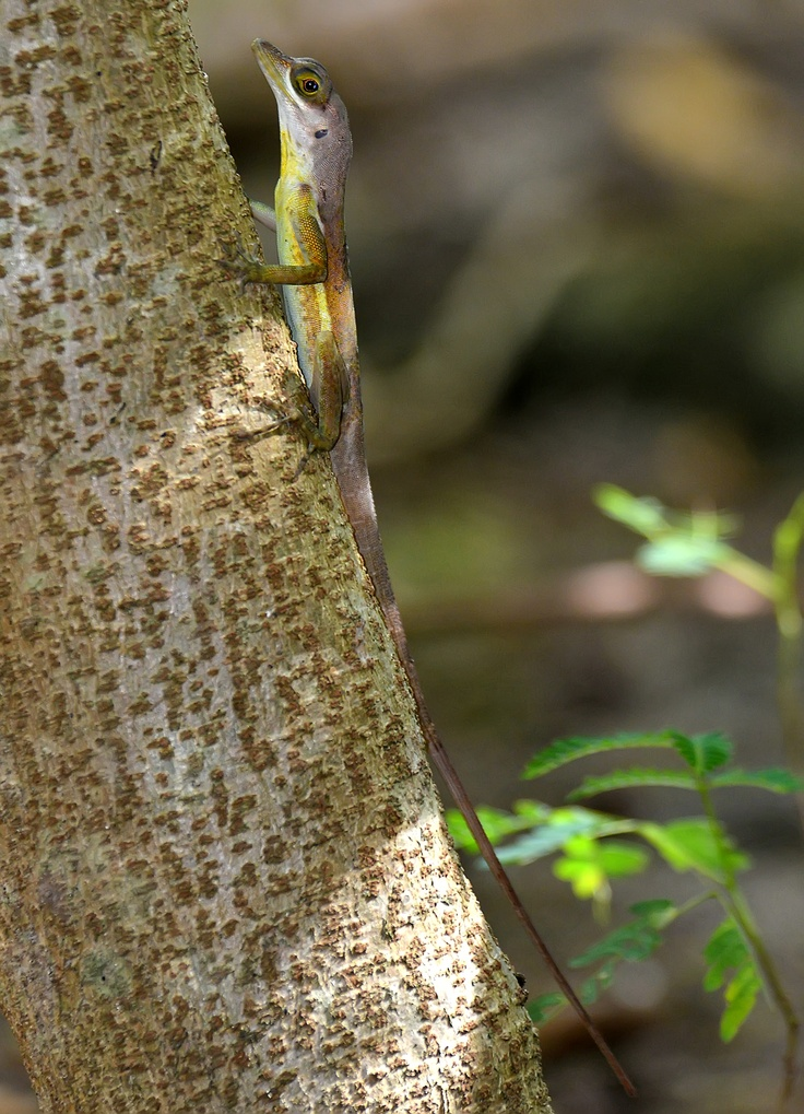 Anolis richardii, endemic to Grenada and St Vincent, Grenada, by Ted Lee Eubanks