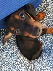 Howie is an adoptable Dachshund Dog in Jacksonville, IL. Howie is definitely�the young pup and the short stack of the group.�He�previously was living in�a puppy mill.�Howie has a repairable condit...