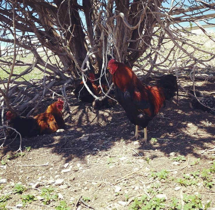 With free range chickens, sometimes it's hard to find the eggs. Spotted these folks on the walk down to the hemp field. . . . #cbd #cbdoil #hemp #sustainable #organicfarming #hempfieldsfarm #cannabis #farming #closedloopsystem #walipini #dempure #purecertified #purefamily #regenerativecannabis #colorado #chicken #chicken