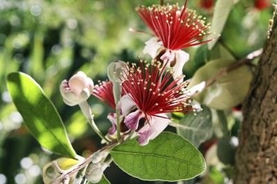 Feijoa Pineapple Guava Info: Tips On Growing Feijoa Fruit Trees - One of the easiest fruits to grow, pineapple guava gets its name from the flavor of the fragrant fruit. It is ideal for small spaces because it's small and doesn't need a second tree for pollination. Find out more about growing pineapple guava in this article.