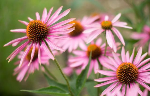 12 Low Maintenance Perennial Plants