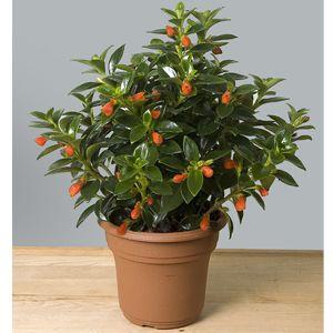 Goldfish Plant, Dancing Dolphins Indoors (Columnea species) | My ...