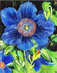 Mitra McQuilton--- Blue poppies - G17 dang i wish I could just order oft his page