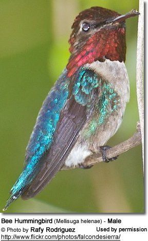 Bee Hummingbird (Mellisuga helenae) - Male -  is endemic to the entire Cuban archipelago. Tiny - weighs about the same as a penny  |  288 × 470