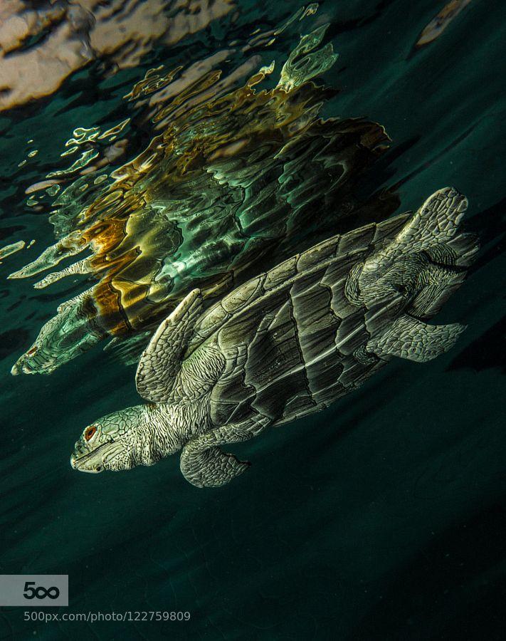 Turtle by RBrasil #underwater #500px