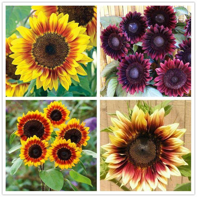 Egrow 40pcs Pack Dwarf Sunflower Seeds Rare Indoor Flower Seeds