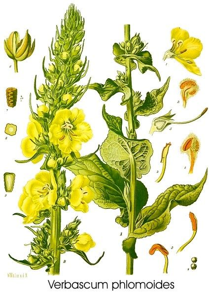 Verbascum thapsus Verbasco - Tasso barbasso - Barbasso