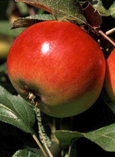 Omenapuu Punakaneli - Viherpeukalot