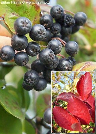 Aronia x prunifolia