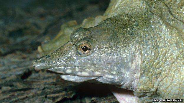 Científicos encuentran tortuga que orina por la boca