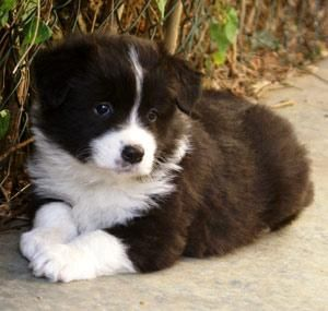 Border Collie Pup ~