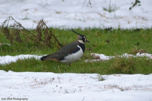 Lapwing - feeding in a flooded section of our field during the big freeze.