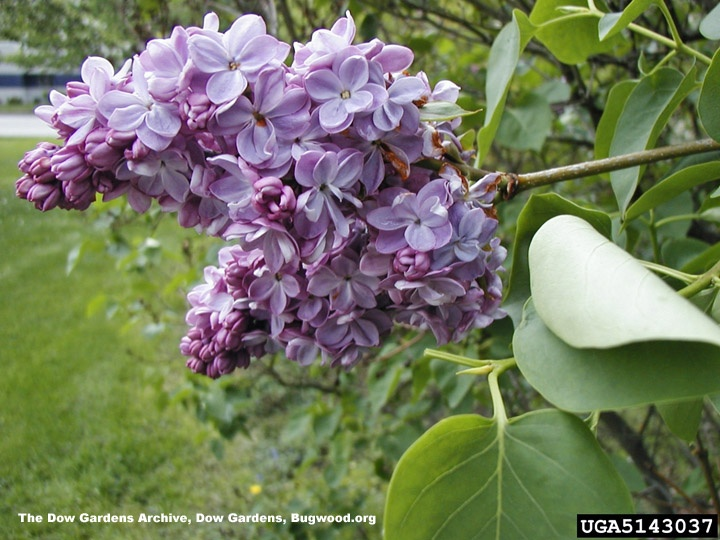 how to grow japanese lilac trees from seed
