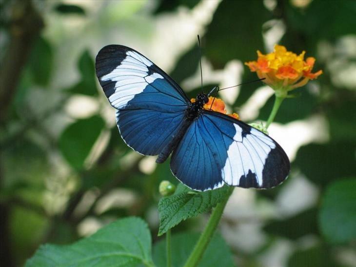 Sappho Longwing