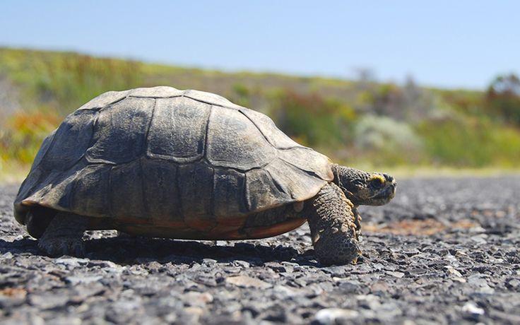 Tortoise at West Coast National Park