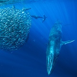 ball of fishes with the blue whale