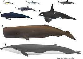 Resultado de imagen para ballena rorcual comun