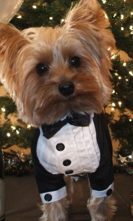 Yorkie in wedding
