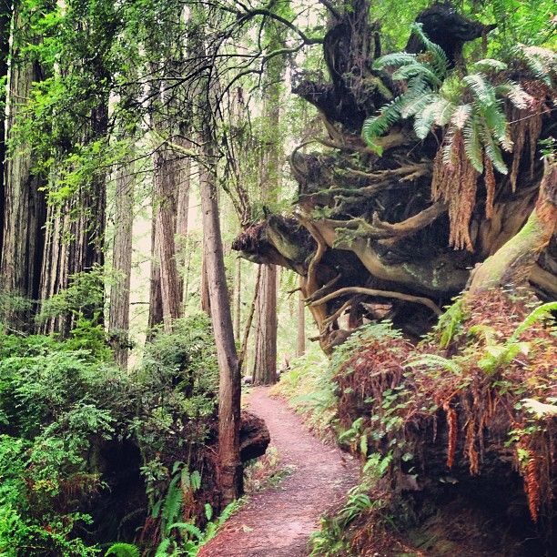 Redwood National Park--Free! Things to Do: --Newton B. Drury Scenic Parkway (10 mi) with lots of redwoods. 1/8 mi. hike to Big Tree --Howland Hill Road (10 mi) scenic drive