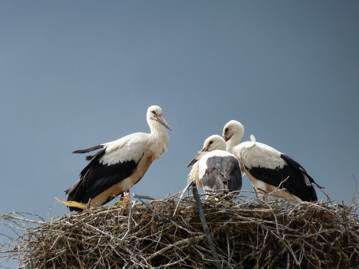 Gólyacsalád Stork family