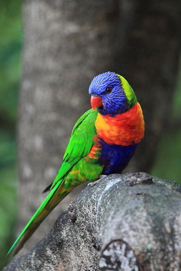 Rainbow Lorikeet (Trichoglossus haematodus) | Our World's 10 Stunning and Col…