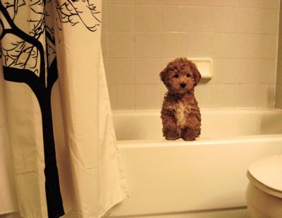 the schnoodle looks like a teddy-bear! i want him. Also this looks just like my house! I have that shower curtain