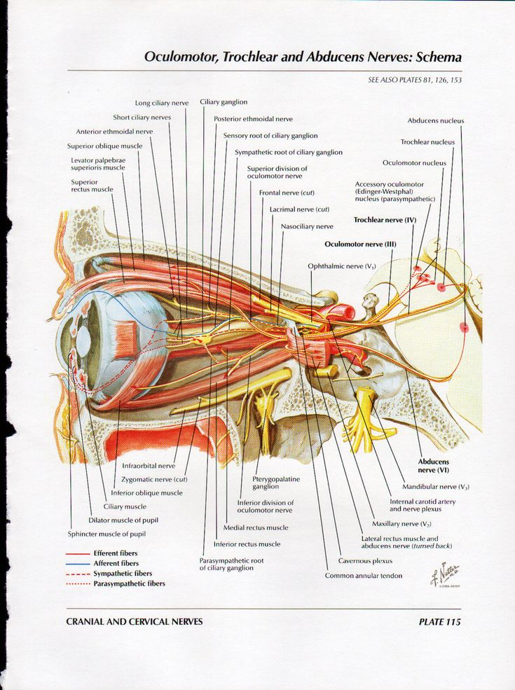 Netter Eye Anatomy 9029099 Follow4morefo