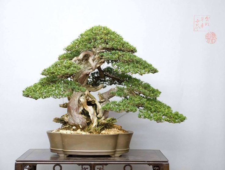 453 best images about great bonsai trees on pinterest for Famous bonsai trees