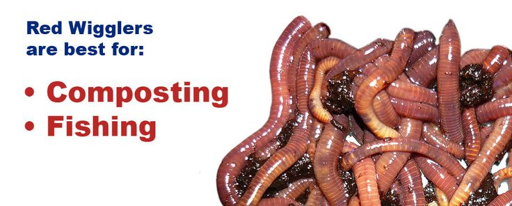 Red Wigglers for Sale