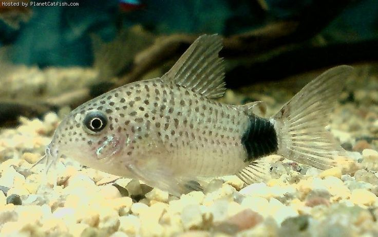 121 best images about catfish on pinterest fresh water for Fish tank catfish