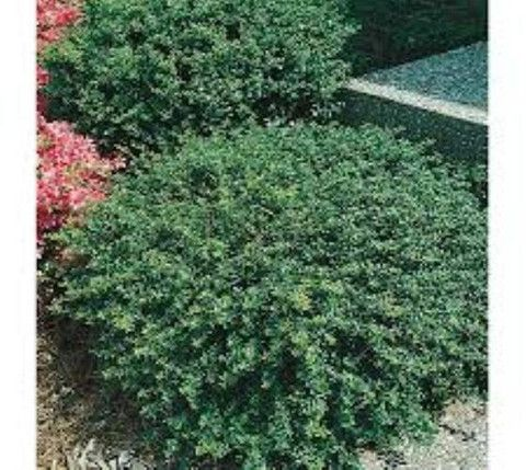 Soft Touch Compact Holly Ilex crenata 'Soft Touch' A dense soft-textured evergreen shrub with glossy dark green leaves. Works well planted in borders, as an accent, along walkways, or for container ga