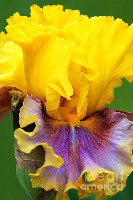 les 327 meilleures images du tableau iris sur pinterest belles fleurs iris barbus et fleurs d. Black Bedroom Furniture Sets. Home Design Ideas