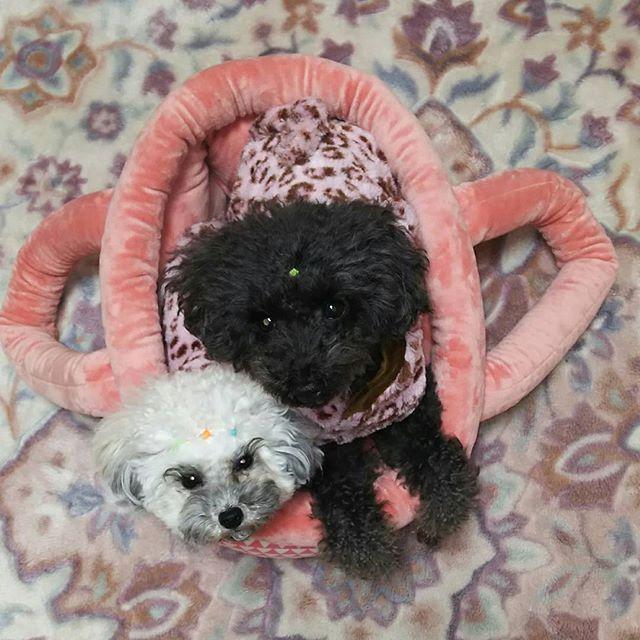 👩➡暖かいキャリーバッグ届いたよ🎵 🐩➡ママちゃん、このキャリーバッグ小さいでしゅよ~💦二人入ると押しくらまんじゅう状態で狭いでしゅよ~😭👩➡ん。。。😔大きいサイズ完売でこのサイズしかなかったもん😞また失敗だね~😅 そうだ❗ユウの秘密㊙基地にしようよ😄 🐩➡それしかないでしゅね。。。😒 #トイプードル#トイプードルブラック #ティーカッププードル #🐩#犬#🐶#dog#愛犬#家族#大切#姉妹#姉妹コーデ #キャリーバッグ#可愛い#💞 #pretty #暖かい #もこもこ #ふかふか #狭い#小さい #pawsforjolie
